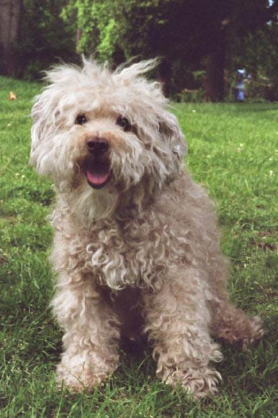 Scruffy Dog Related Keywords & Suggestions - Scruffy Dog Long Tail ...