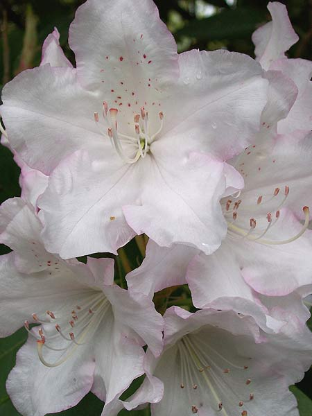 Rhododendron Silk Flowers