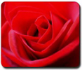 Red Rose Gifts & T-Shirts  Romantic Rose Gifts, Lapel Rose T-shirts, sweaters, hoodies, mouspads, mugs, ornaments, tile boxes, pillows, coasters, calendars, greeting cards, stamps & much more!