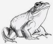 Bull frog Wildlife Pencil Sketches / Drawings / Illustration ? Ink Drawings & Original Art by Vancouver BC Artist Kim Hunter a.k.a.INDIGO CREATIVE ENDEAVOURS
