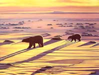 Landscape painting polar bears sunset oil painting, arctic landscape painting, wildlife Original polarbear w cub casting long shadows on the ice flows at dusk, oil painting on bristle board painting by contemporary Canadian Artist Kim Hunter / INDIGO