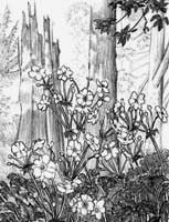 pencil sketch of wild  flowers roses in Stanley Park Vancouver BC pencil drawing  by contemporary Canadian Artist INDIGO aka Kim Hunter